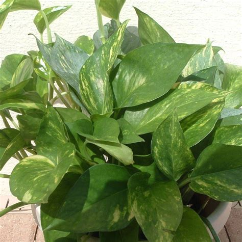 common household plant names the 7 best houseplants for low light conditions plant pictures houseplants and pothos vine