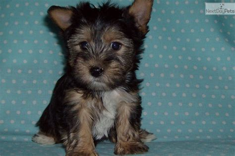 free yorkie puppies in az terrier yorkie puppy for sale near arizona d933dd7a 2ef1