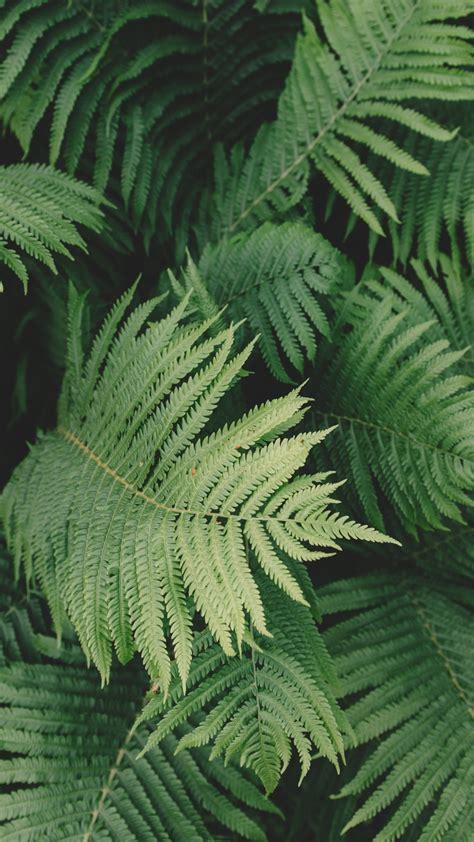 ferns wallpaper mobile desktop background