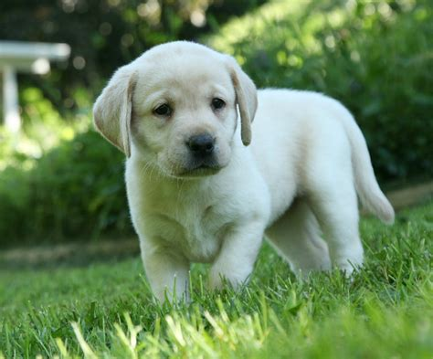 puppy labs for sale yellow labrador retriever puppies for sale breeders pond labradors