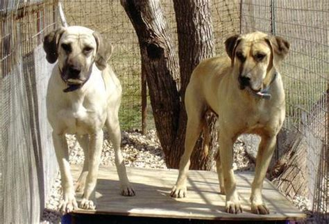 black cur puppies for sale in florida cur cow dogs for sale breeds picture