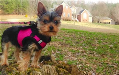 best harness for yorkie puppy choosing the best collar and harness for a yorkie