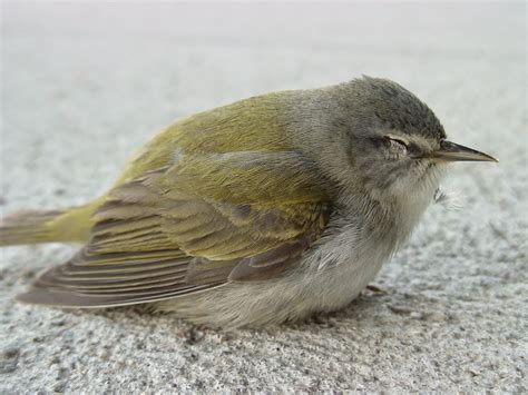 wildbirds broadcasting bird window collisions during may
