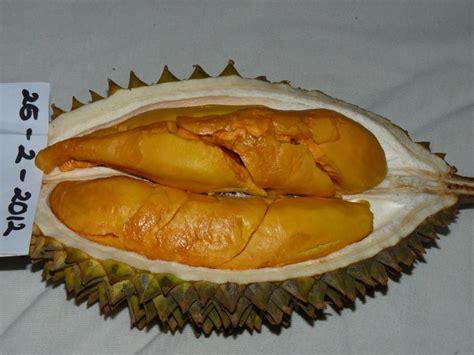 Jual Bibit Durian Tembaga bibit durian unggul bibit durian montong bibit durian