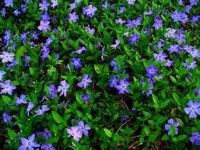 periwinkle vinca minor barwinek outdoor ground cover