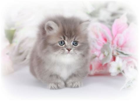 Micro Teacup Kittens Www Pixshark Com Images Galleries Rug Hugger Kittens For Sale