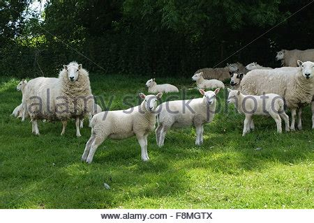 cheviot ewes with their lambs in summer shelting in the