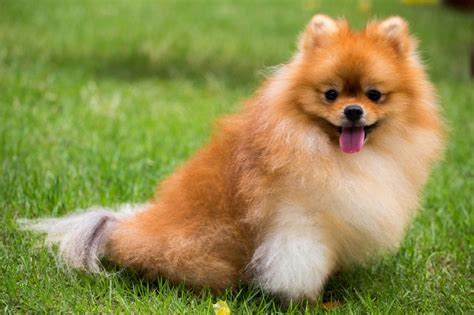 pomeranian and children pomeranian breed information buying advice photos and facts pets4homes