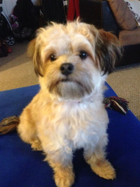 maltese yorkie maltese and yorkie mix teacup www imgkid the image