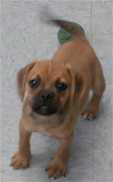 yorkie puggle mix pets 566 randall road south elgin illinois 60177 224 856 5780