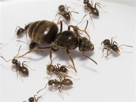 black ant little black ant queen www pixshark com images