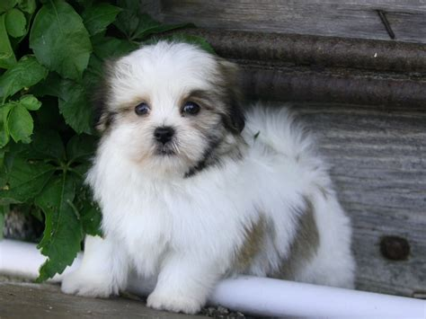 havanese and maltese mix havamalt maltese havanese mix info care puppies and pictures