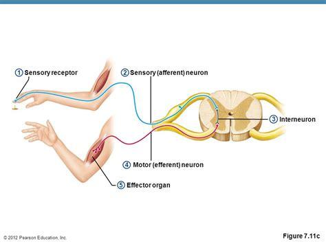 motor efferent need to shorten 7 the nervous system ppt