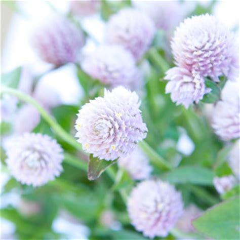 new at fiftyflowers fresh lavender wispy lavender gomphrena fresh flowers
