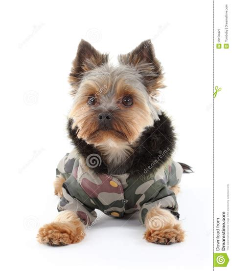 yorkie terrier clothes terrier in winter clothes stock photos image 28120423