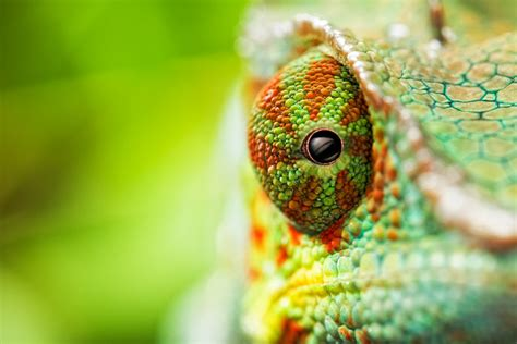 The Chameleon by Iridophore Crystals Reveal Chameleons Ability To Camouflage Nat Sci News