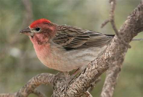 house finch sounds cassin s finch song call voice sound