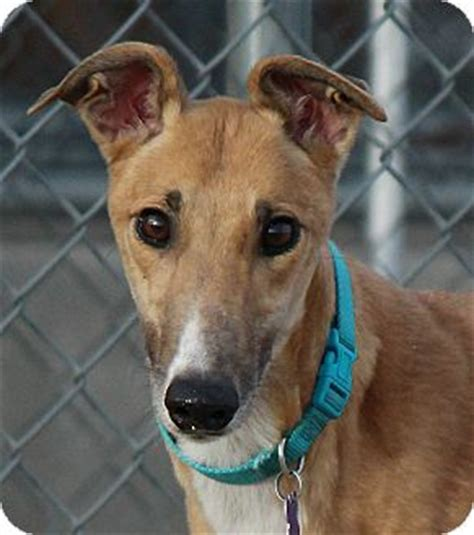 puppies for adoption tucson az tucson az greyhound meet a for adoption