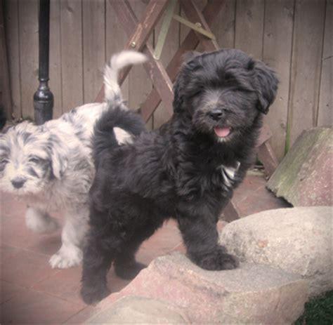 bergamasco puppies puppies artos bergamasco sheepdogs