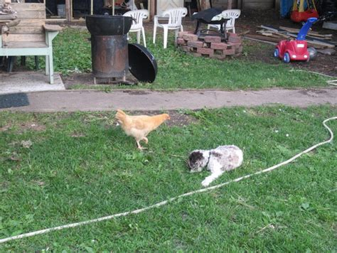 backyard chicken farming the best 28 images of backyard chicken farming humane
