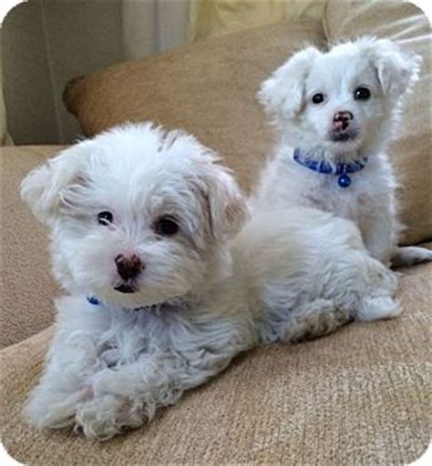 turkish pomeranian edsel jeep adopted puppy los angeles ca maltese pomeranian mix