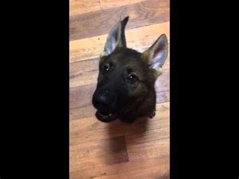 how to your to speak on command hungry german shepherd doovi
