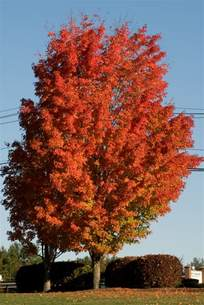 sugar maple trees for sale lowest prices online save 80