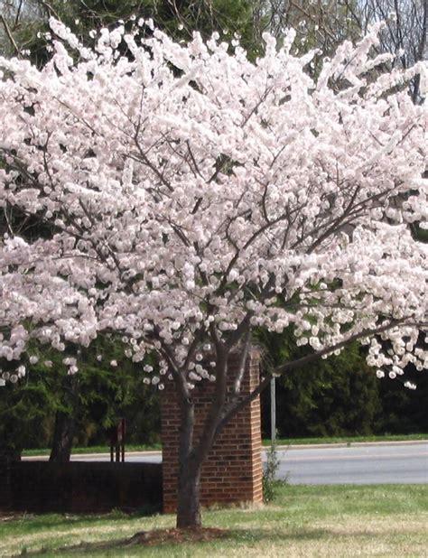 cherry tree yoshino yoshino cherry fort wayne trees