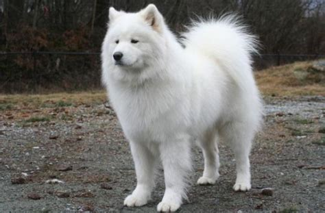 big white fluffy breed tag for big fluffy white dogs big fluffy dogs breeds picture litle pups white