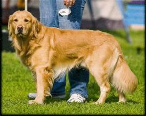 golden retriever breeders in minnesota golden retriever sale mn dogs in our photo