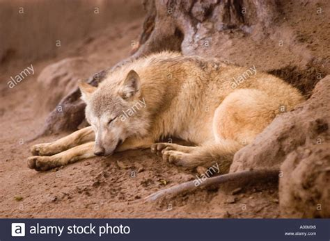 www zoo section com tibetan wolf canis lupus laniger or canis lupus chanco in