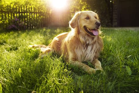 golden retriever fact sheet these are the happiest breeds who spending time with you