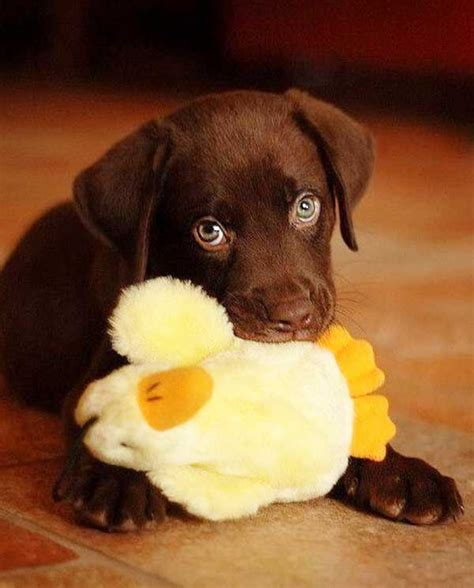best chew toys for lab puppies best labrador puppy chew toys 4k wallpapers