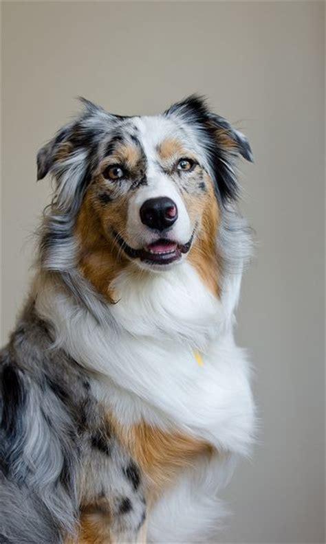Australian Shepherd Shed by Best 25 Australian Shepherd Dogs Ideas On Do