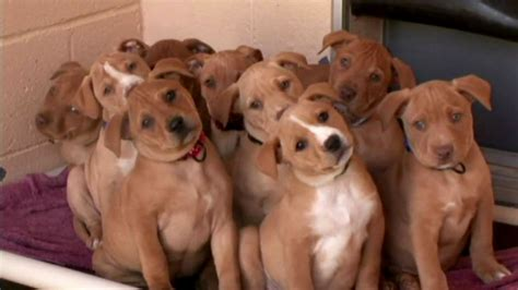 pitbull puppy names pitbull puppy names puppies puppy