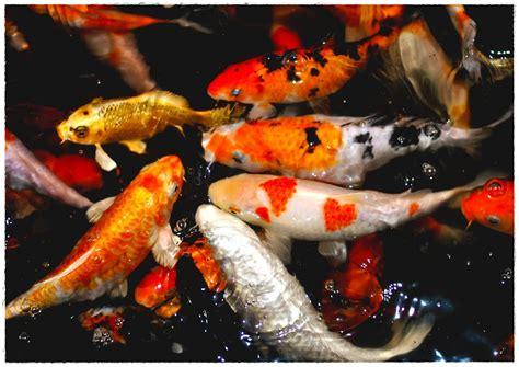 Bibit Ikan Koi Yang Baik cara merawat dan memelihara ikan koi yang benar