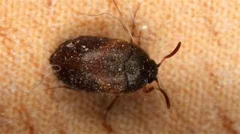 what eats bed bugs learn best control tips on how to get rid of carpet beetle