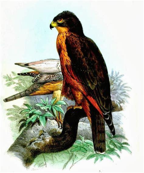 tierra de 225 guilas halcones aguiluchos y otras rapaces