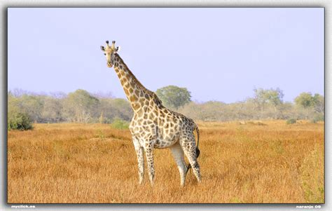 imagenes animales salvajes africa memorias de africa la girafa pn moremi dedicada a elisa m