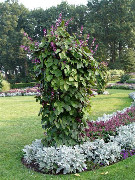 purple hyacinth bean www imgkid com the image kid has it