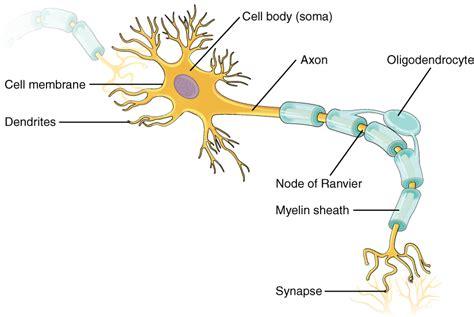 nervous tissue labeled diagram animal anatomy leology