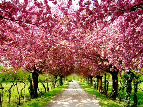 blossom tree photo love inspiration cherry blossom cheer