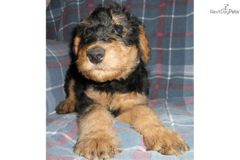 airedale puppies for sale california akc airedale terrier puppies is a airedale terrier puppy