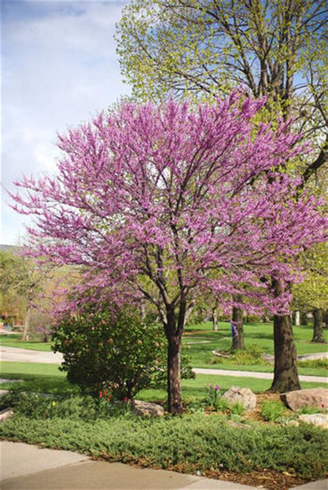 redbuds are spring flowering trees native to virginia