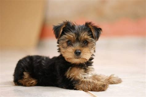 a baby yorkie baby yorkie yorkies or what puppys chs and