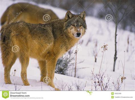 im 225 genes de un lobo gris im 225 genes y fotos 404 not found