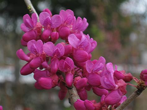 Patio Guy Lilacs And Redbuds