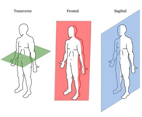 define transverse section anatomische lichaamsvlakken en plaatsaanduidingen