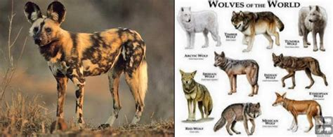 how are dogs considered puppies why isn t the considered a wolf