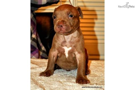 chocolate pitbull puppies meet steeler a american pit bull terrier puppy for sale for 800 ukc adba